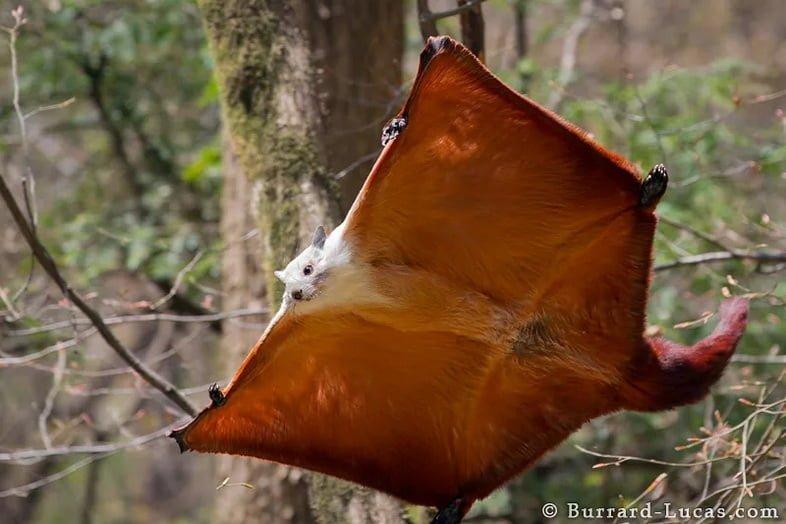 Рыже-белая гигантская белка-летяга, Petaurista alborufus