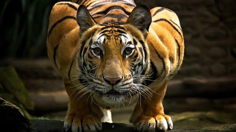 На фото тигр присел и смотрит в камеру