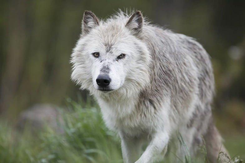Серых волков вернули в парк в 1995 году
