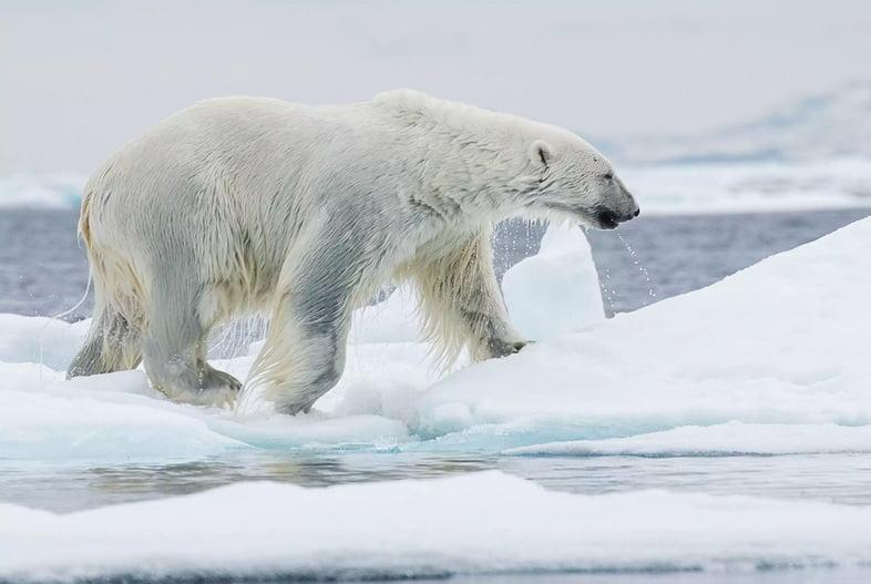 Черная шкура белого медведя