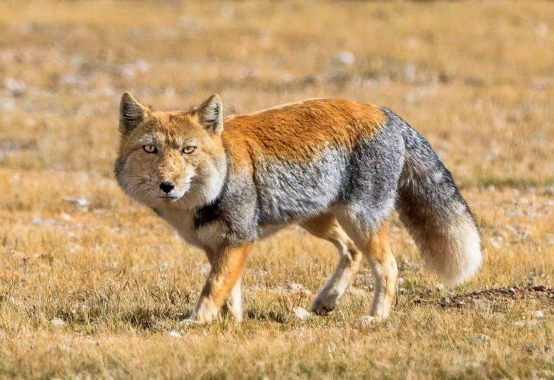 Тибетская лисица гуляет по северному Тибету