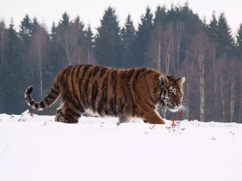 Амурский тигр идет по глубокому снегу в тайге или северном лесу