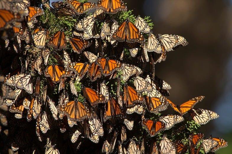 Фотография тысяч мигрирующих бабочек монархов, собранных вместе