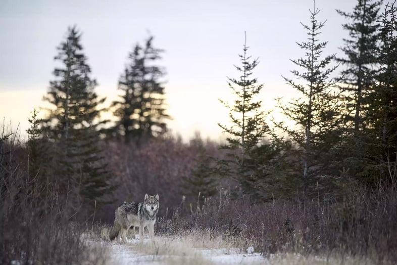 Серый волк гуляет по лесной поляне на закате в Манитобе, Канада