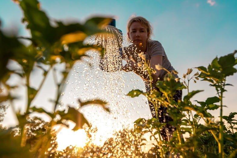 Женщина ухаживает за растениями, поливая зеленые побеги из лейки на закате