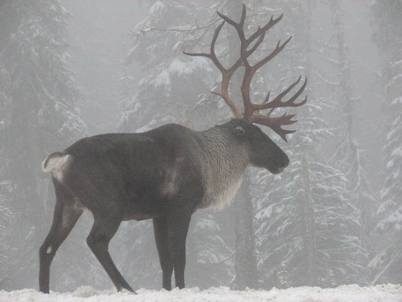 Лесной северный олень стоит в северном лесу на снегу