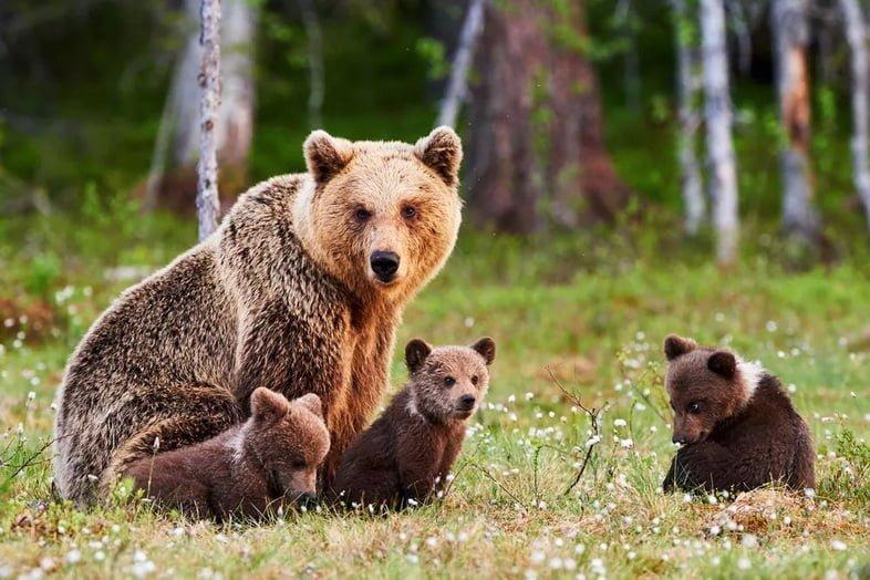 Медведица и детеныши в лесу