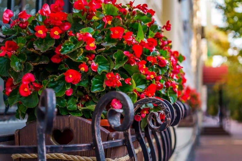 Красные бегонии цветут на балконе