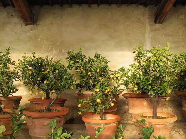 Рангпур внутри теплицы в Тоскане, Италия
