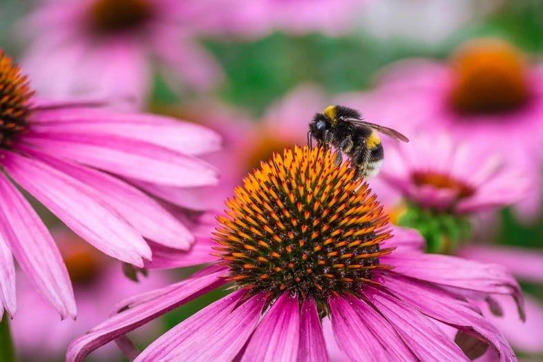 Медоносная пчела опыляет эхинацею пурпурную