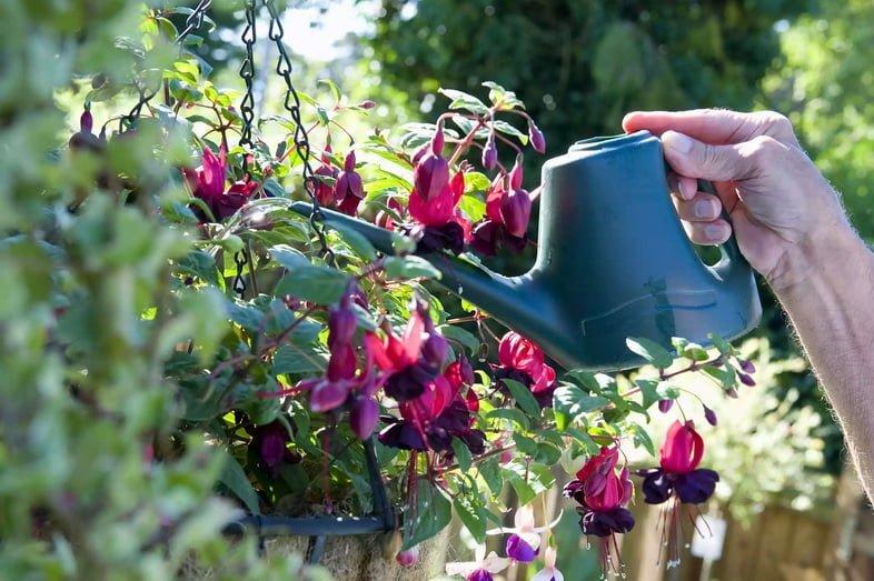Зрелый мужчина-садовник поливает фуксию магелланскую