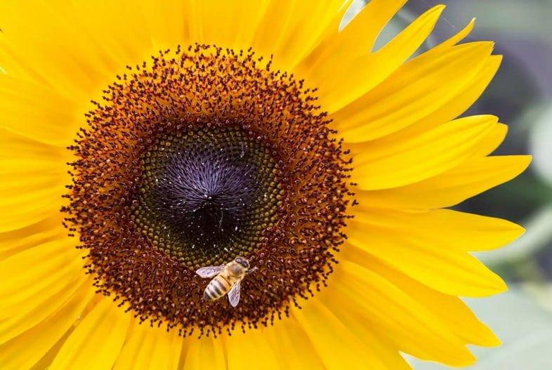 Крупный план пчелы, опыляющей подсолнечник