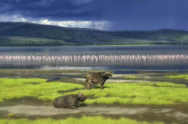Азиатские буйволы и фламинго в озере Накуру