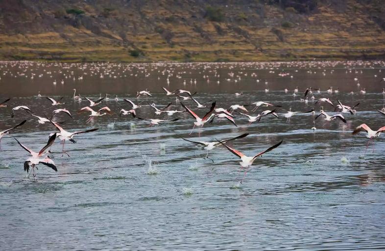 Фламинго летят над озером