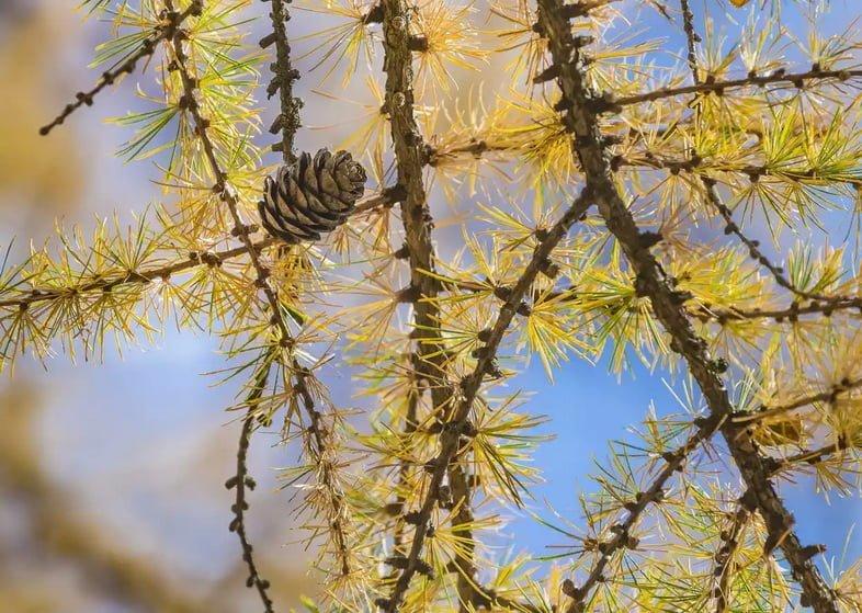 Лиственница Гмелина (Larix gmelinii)