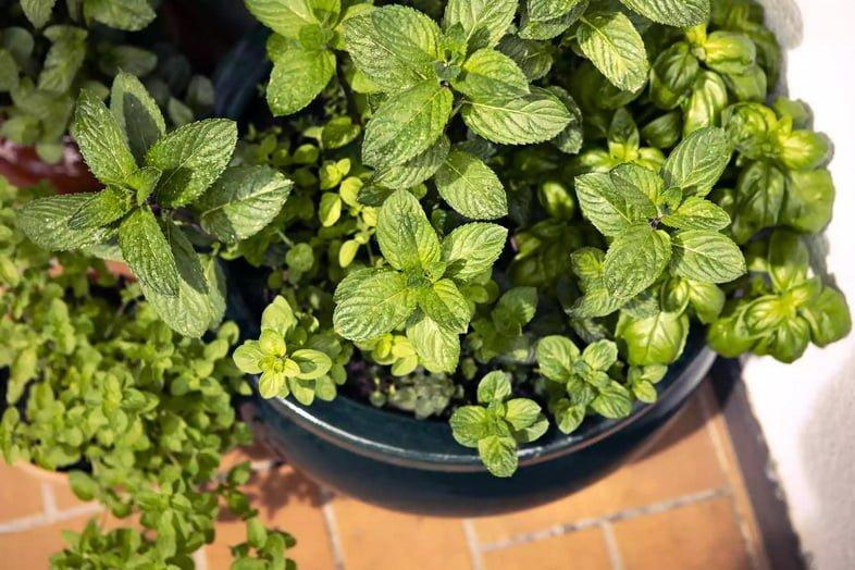 Мята растет вместе с другими растениями в балконном садовом горшке