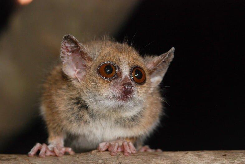 Фотография серого мышиного лемура