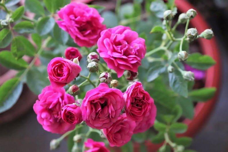 Крупный план роз в цветочном горшке / саду