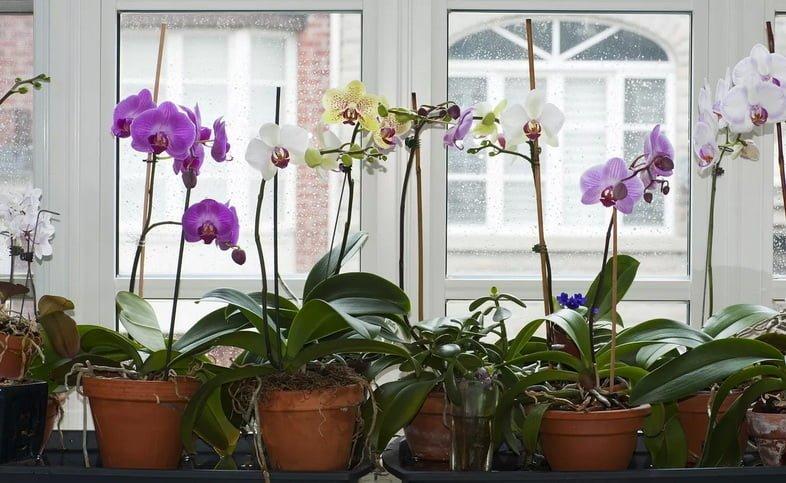 Орхидеи фалинопсис в горшках