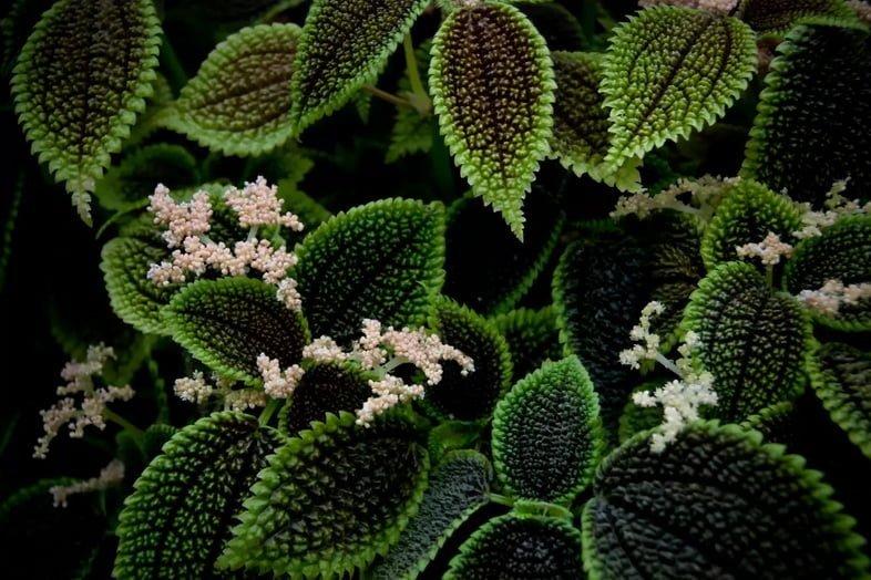 Пилея обернутая, Pilea involucrata, с цветками