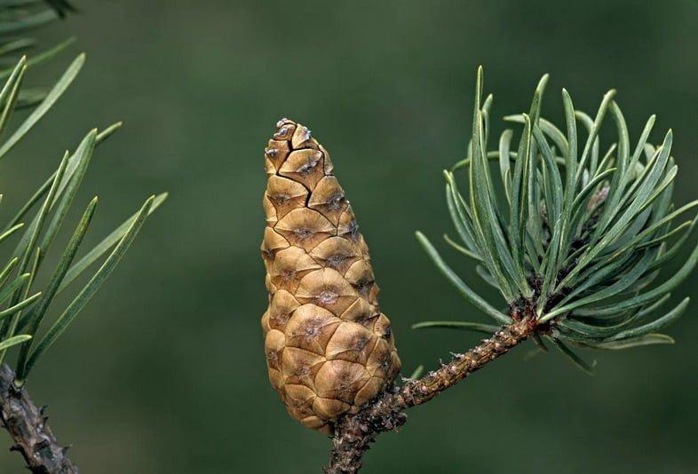 Сосна Банкса (Pinus Banksiana)