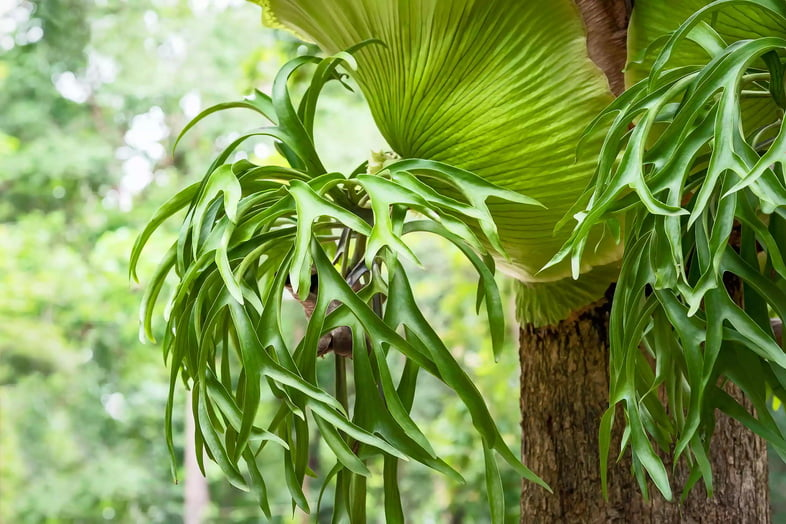 Крупный план листьев платицериума оленерогого