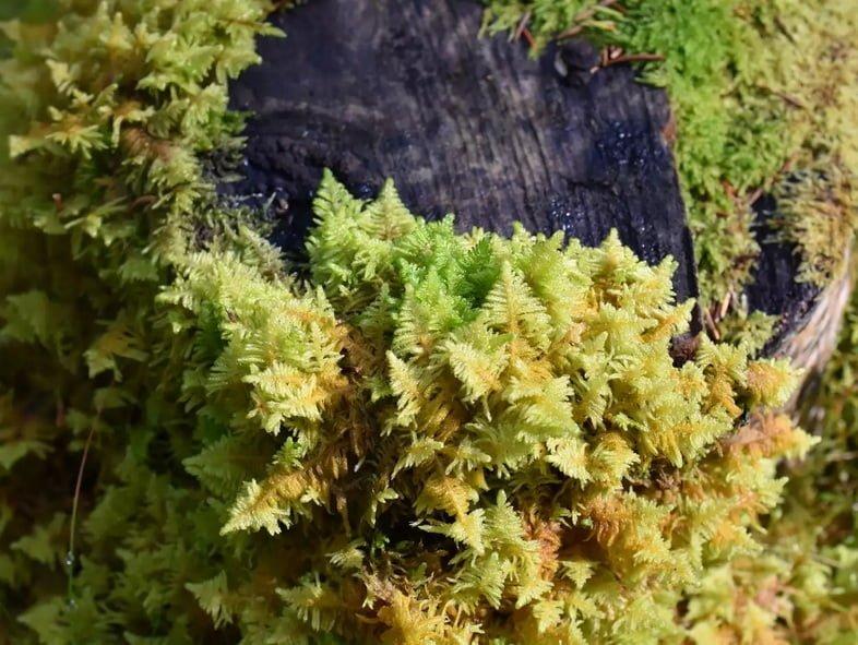 Птилиум гребенчатый (Ptilium crista-castrensis)