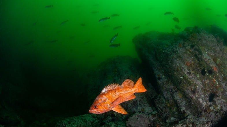 Красный морской окунь плавает у берегов Калифорнии