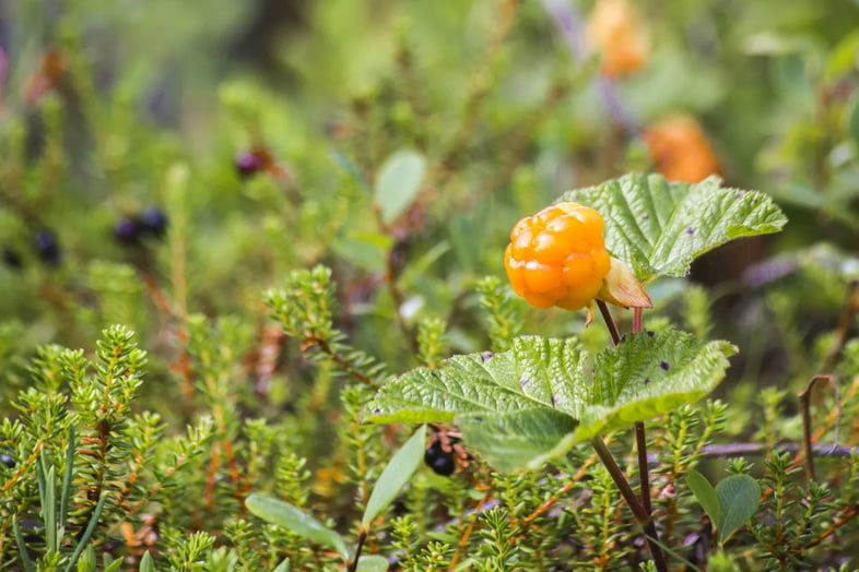 Морошка (Rubus chamaemorus)