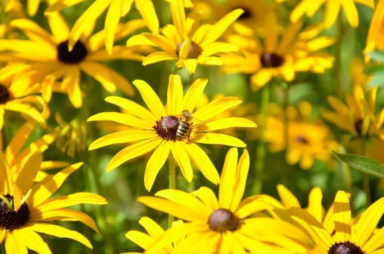 Поле рудбекии волосистой с пчелой на одном цветке