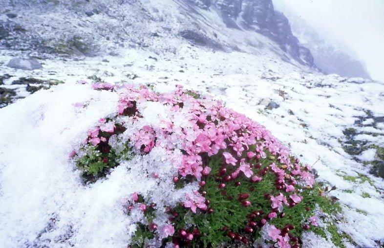 Смолёвка бесстебельная под слоем снега