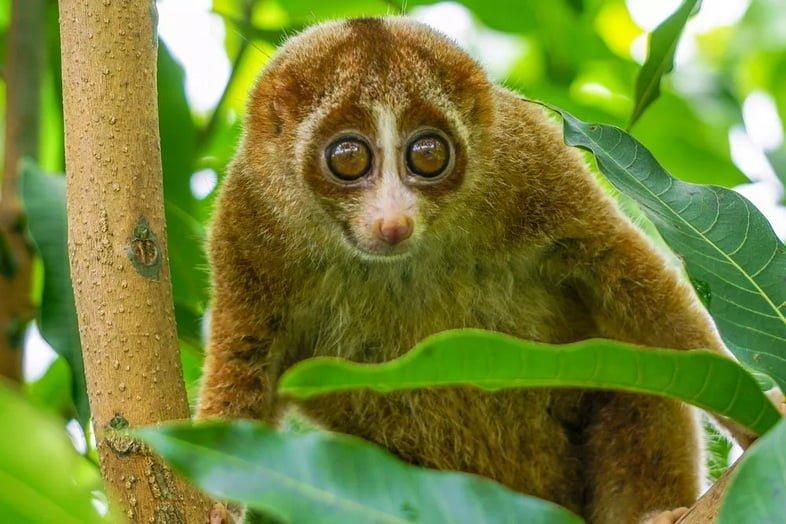 Желто-коричневый толстый лори с большими глазами на дереве