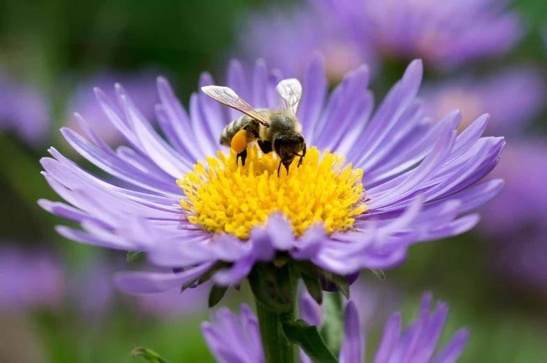 Медоносная пчела исследует американскую астру