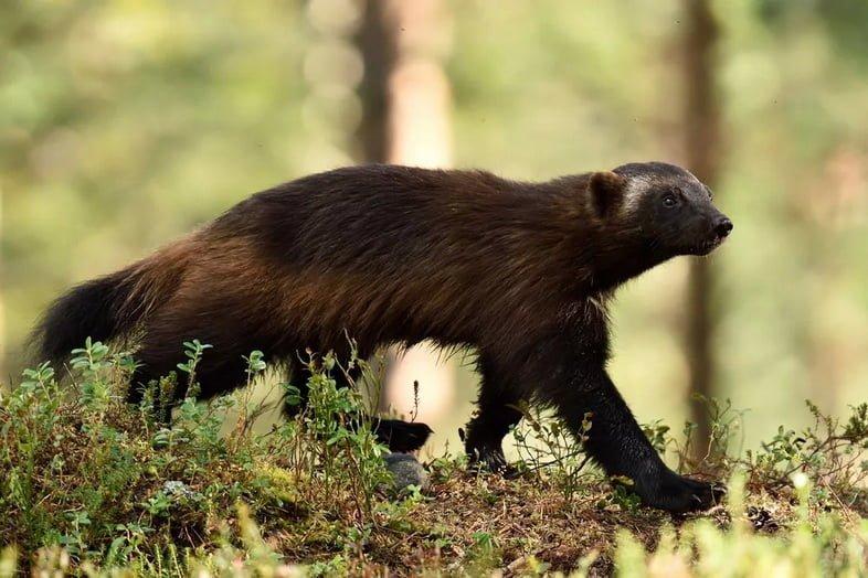 Росомаха прогуливается по лесной местности
