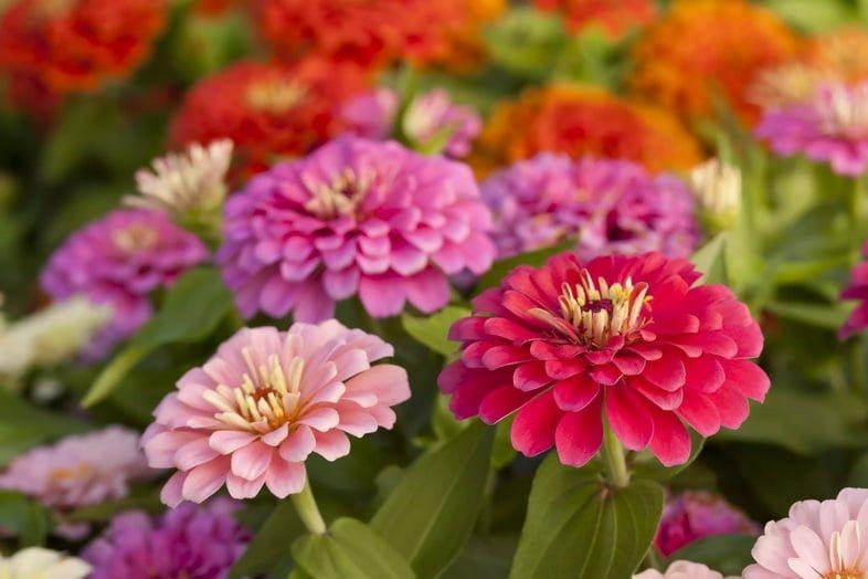 Цветы циннии изящной различных оттенков