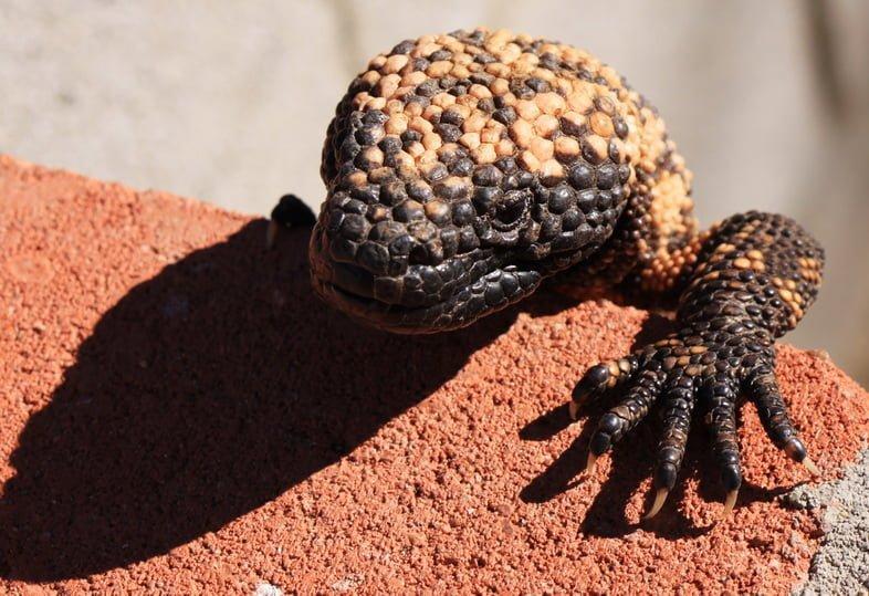 Голова и одна лапа аризонского ядозуба, карабкающегося по кирпичу
