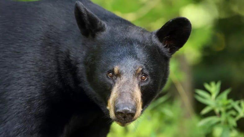 Фотография морды барибала (черного медведя), смотрящего в камеру в Онтарио, Канада