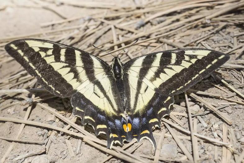 Западный тигровый парусник (Papilio rutulus), Национальный парк Брайс-Каньон, Юта, США
