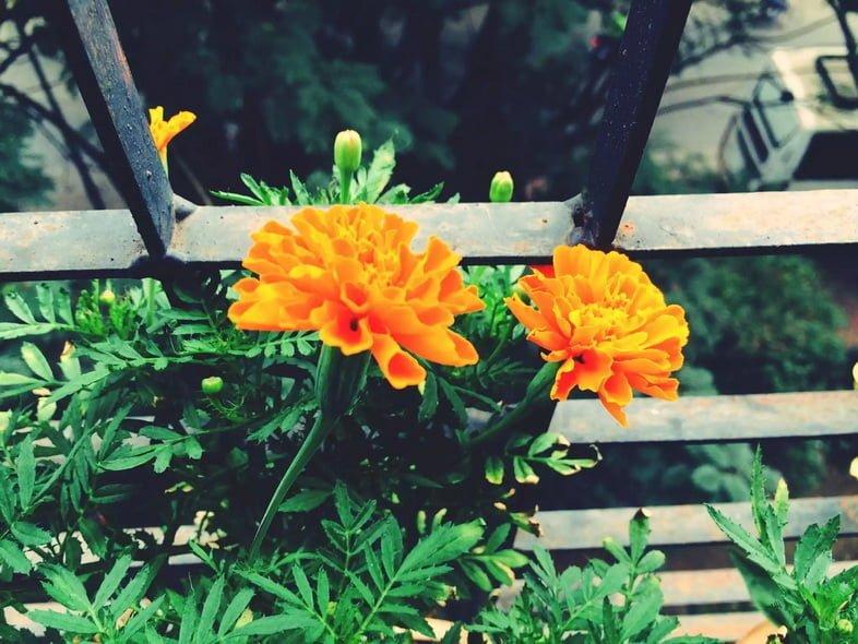 Крупный план оранжевых цветов бархатцев
