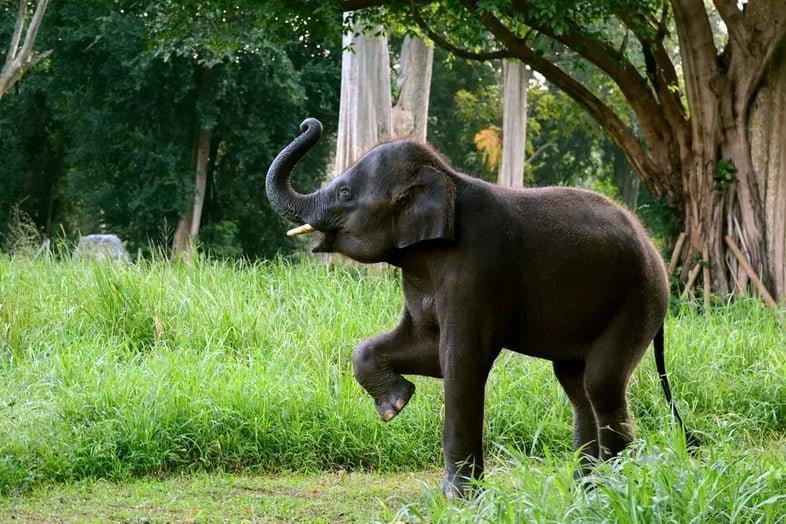 Слоненок поднимает хобот и переднюю ногу