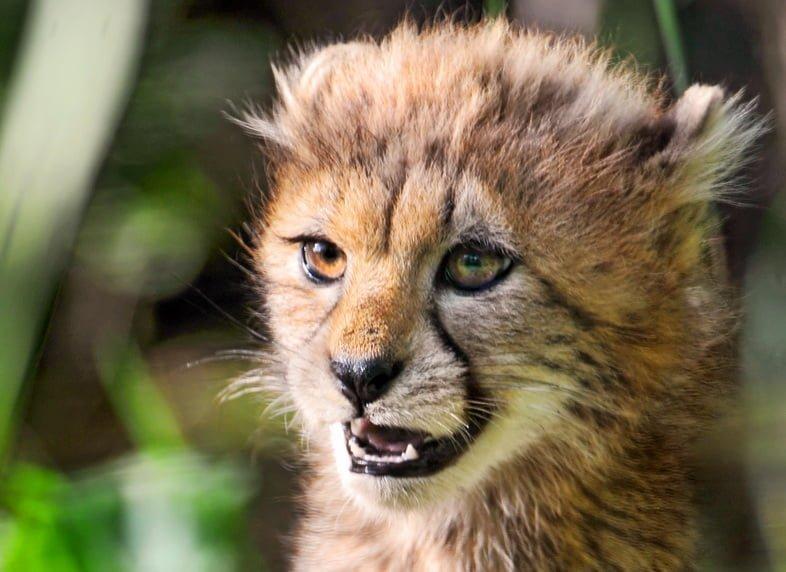 Детеныш гепарда выглядит свирепым