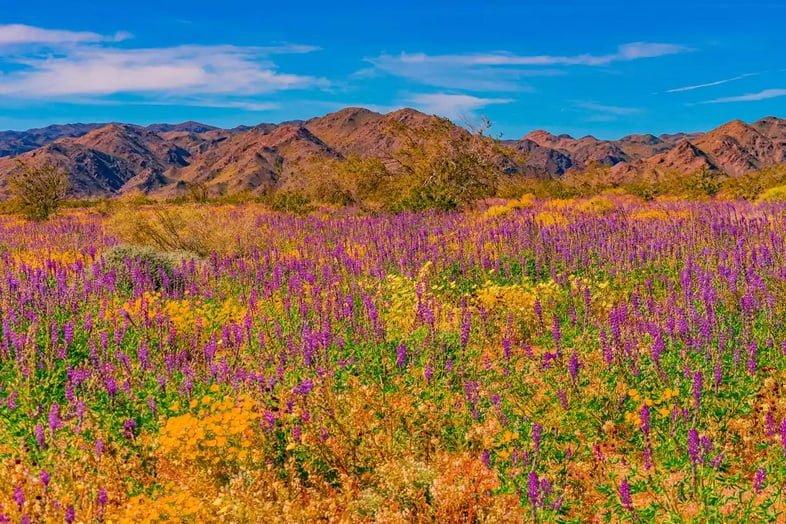 Полевые цветы в национальном парке Джошуа-Три