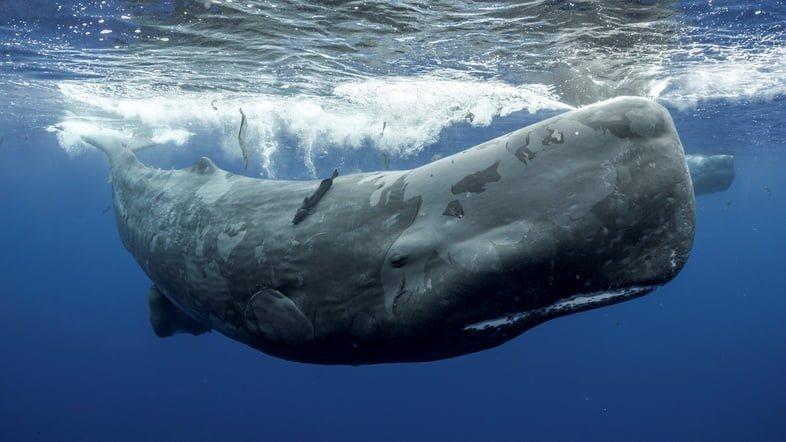 Фотография кашалота, плавающего под водой