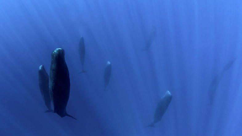 Фотография кашалотов, плывущих головой к поверхности
