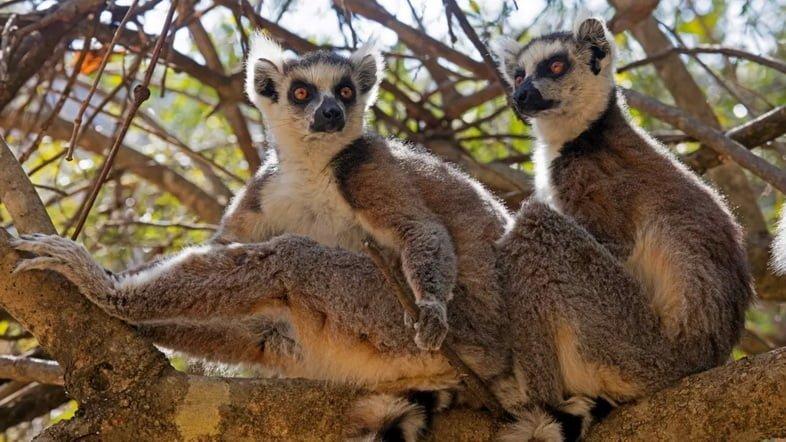 Фотография двух кошачьих лемуров, сидящих на дереве в национальном парке Исалу, Мадагаскар
