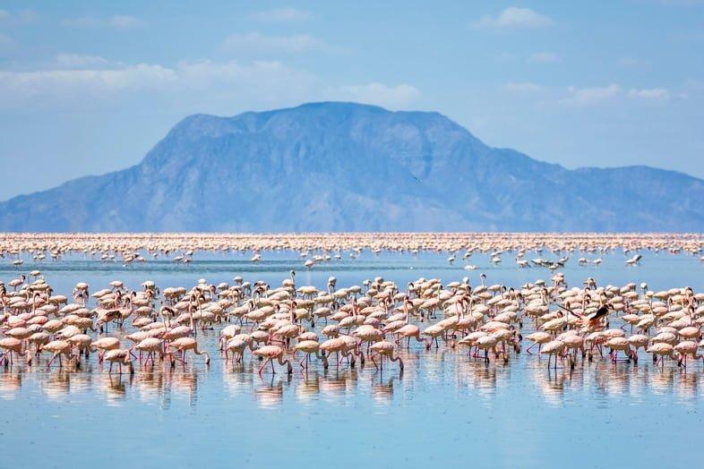 Малые фламинго, кормящиеся на озере Натрон, Танзания