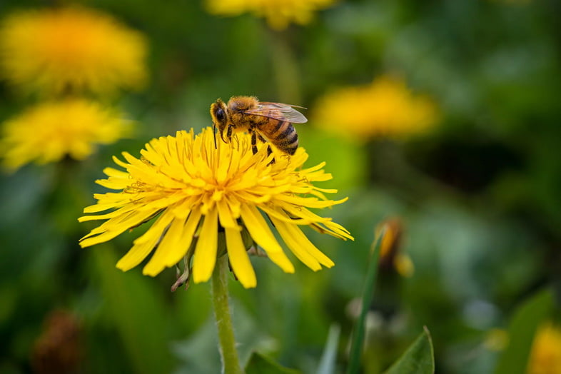 Крупный план пчелы на одуванчике