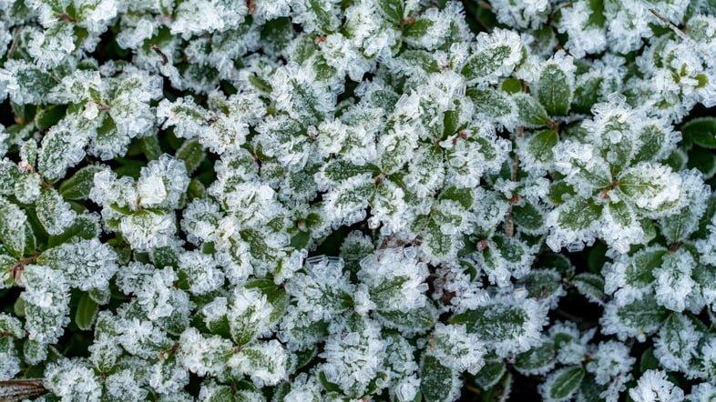 Листья брусники в снегу