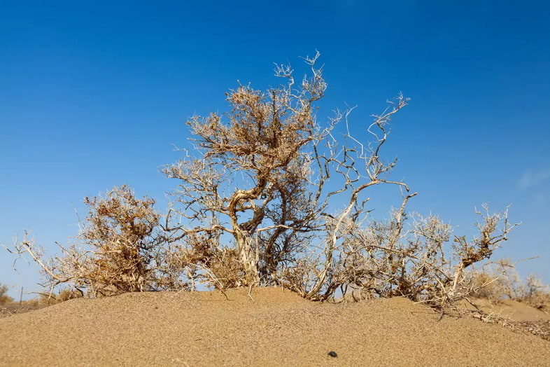 Верблюжья колючка (Alhagi Sparsifolia)
