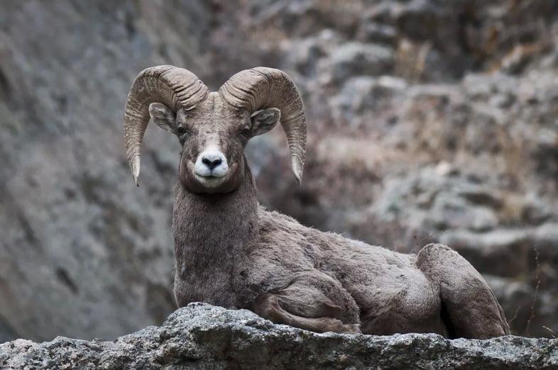 Толсторог в национальном парке Роки-Маунтин